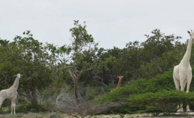 Rare white giraffes in Kenya that killed