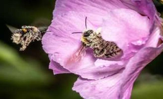 Hibiscus tea: detectable immune-boosting and blood pressure lowering effect | health