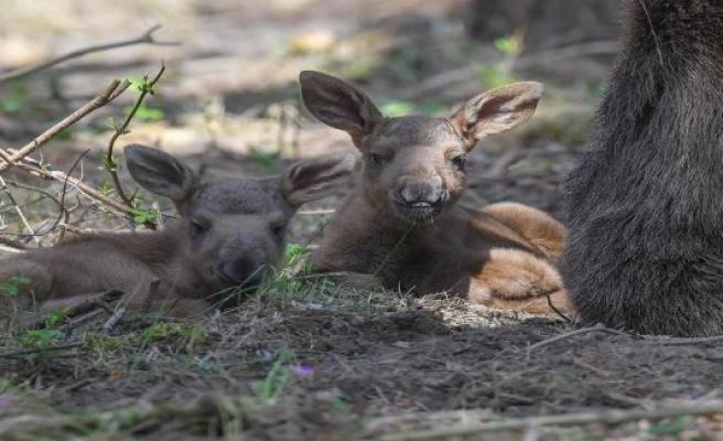 Schorfheide: Congenital liver damage was the cause of death for moose-Junior