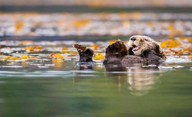 Sea Otters: A Lucrative Comeback