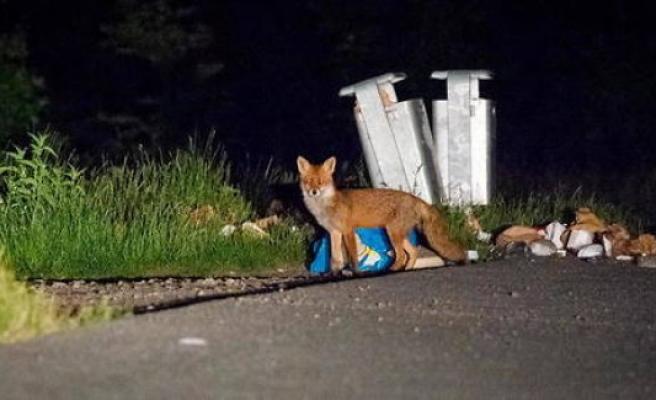 Berlin : a fox kleptomaniac chaparde dozens of shoes - The Point