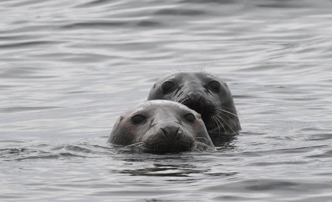 Wilhelmshaven, Germany: Wadden sea Secretariat informed about the grey seal stock