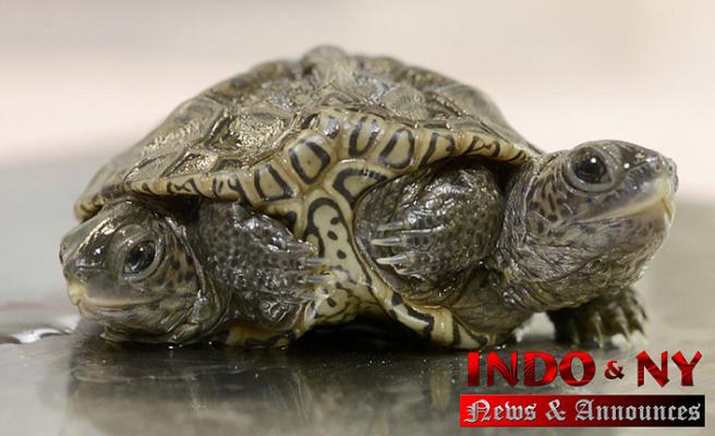 Headed baby turtle thrives at Massachusetts animal refuge