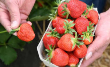 Disgusting discovery: Why you should strawberries prefer to soak in salt water | enjoyment