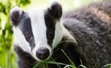 Badgers: the kings of The under world