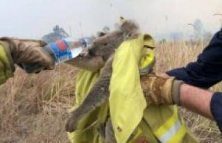 Koalaen reported functionally extinct after australian...
