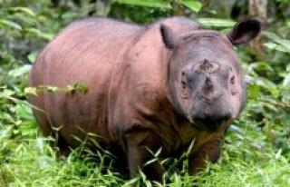 Malaysia's last surviving sumatranæsehorn is dead