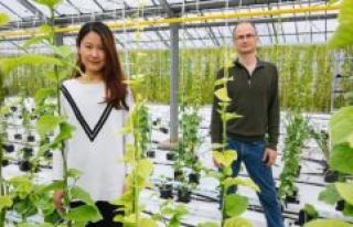 Vegetable gardening in Berlin: Pak Choi from Spandau