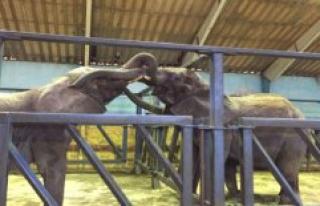 Cirkuselefanter reunited in a temporary home