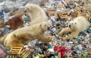 Over 50 hungry polar bears move towards the Russian...