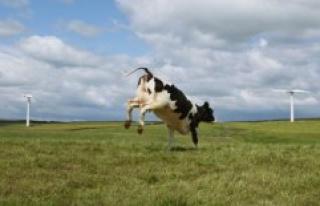 So sensitive to cows as calves