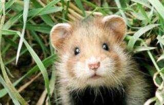Coronavirus : evidence for the hamsters that masks...