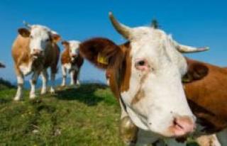 Bavaria/Tirol: cows attack German hikers - four-year-old...