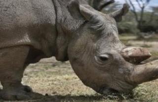 Hodenhagen: Northern white Rhino is to be saved