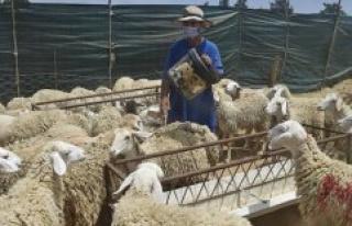 Algeria : the sacrifice of the lamb of lAïd-el-Kebir...