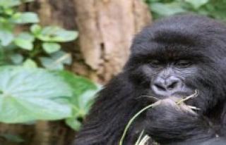 Allegedly in self-defence: man mountain gorilla kills...