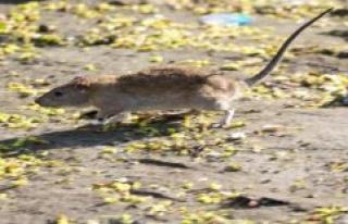 Despite a rat infestation in operation: 470 tonnes...