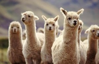 Lamas against Corona: With unique anti-body Corona...