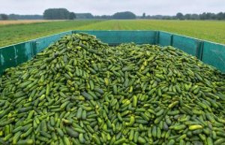 Lübben: Not a good cucumber harvest in Spreewald...