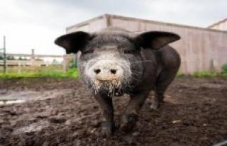 Pig Bobby runs away three times before the butcher...