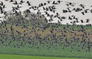 Kiel/Hamburg: avian influenza detected in wild birds...