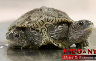 Headed baby turtle thrives at Massachusetts animal...