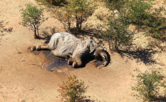 Mysterious mass die-off: hundreds of elephants are dying in the Okavango Delta, researchers are still before the mystery