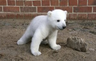 Copenhagen Zoo polar bear cub