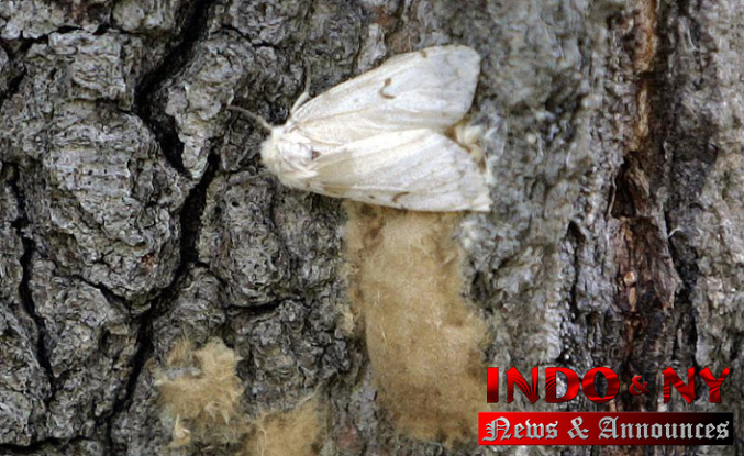 Experts in bug control seek new names for the destructive gypsy moth